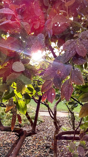 Morning sunrise through the dew and leaves at Alice Keck photo