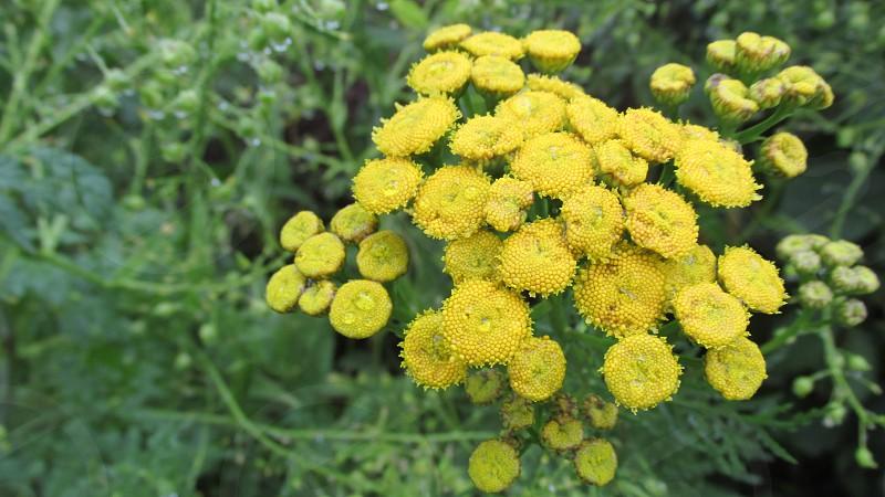 yellow football mums plant photo