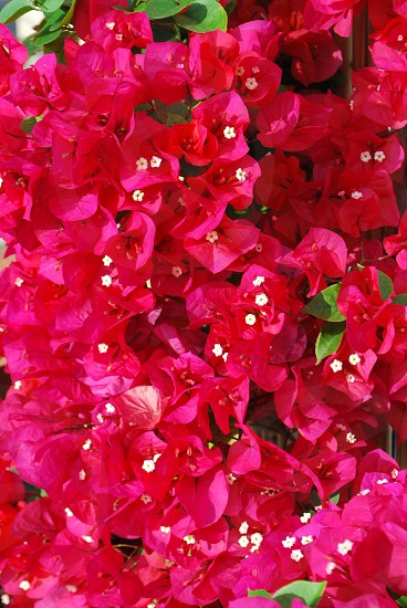 pink bougainvillea bundle photo