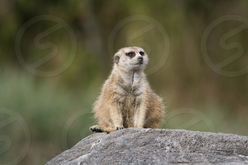 Meerkat in Animal Kingdom photo