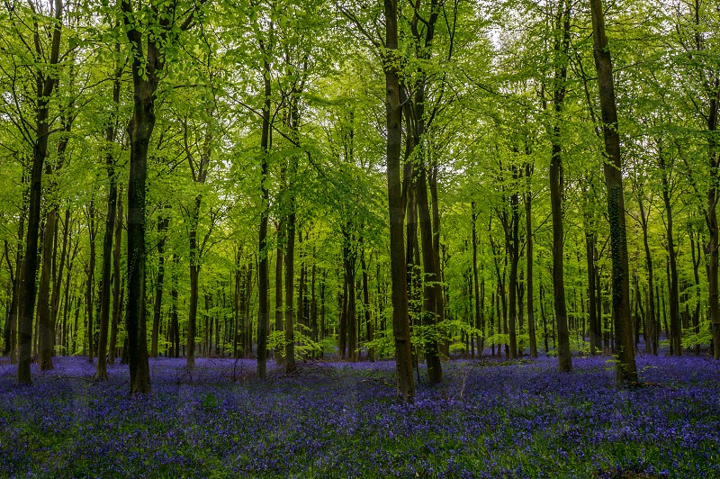Woodland bluebells trees flowers nature spring shadow light green blue photo