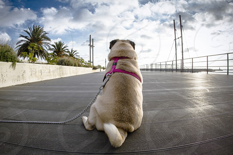 A pug sitting watching the clouds in the sky. photo