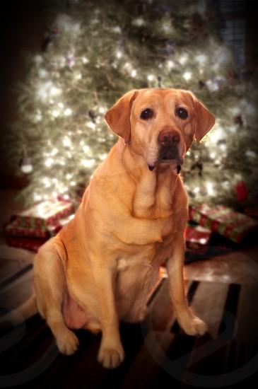 Yellow Labrador at Christmas photo