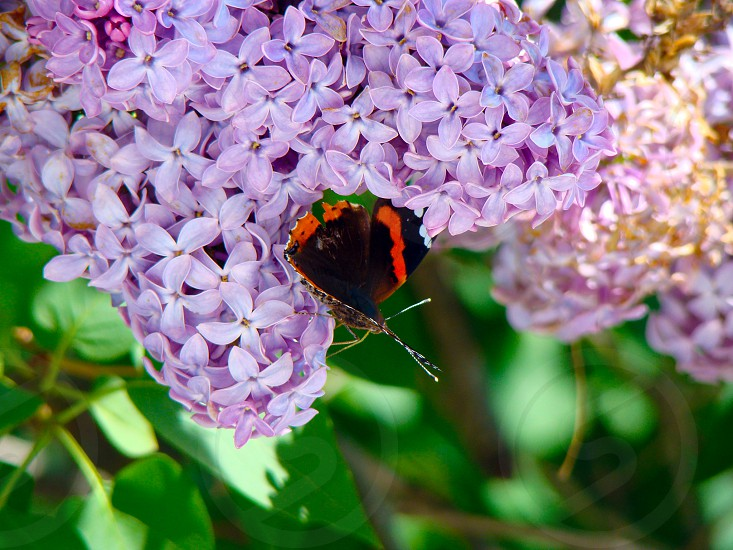 Butterfly Lillic flower purple flower purple green leaves closeup  Lillic Bush spring photo