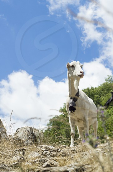 Goat of the countryside to the grazing of the mountains. photo