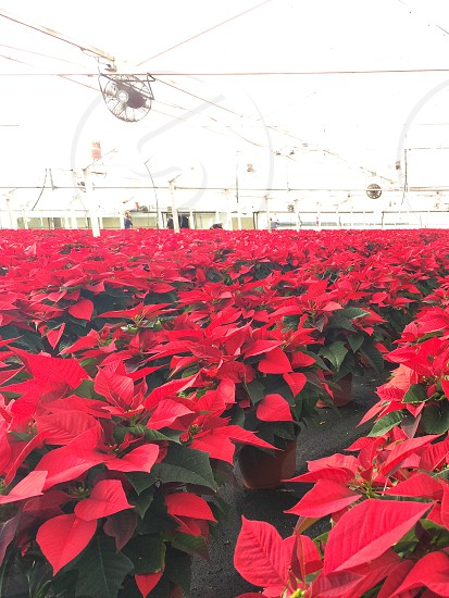 Poinsettia farm in a green house photo