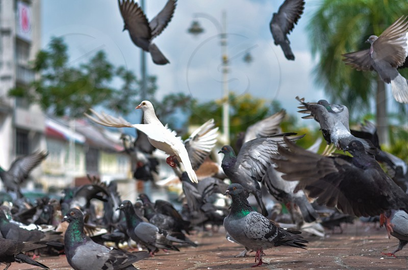 pigeons thrown around searching for food in the heart of ipoh city Malaysia. photo