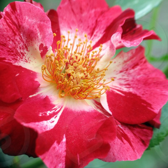 vibrant red flower with yellow thread center photo
