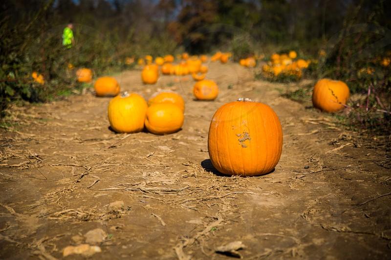 pumpkins fall orange halloween autumn gourd pumpkin patch country farm photo