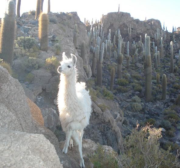 Lhama in Isla Incauhasi Bolivia photo