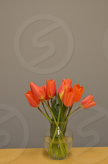 orange tulip flowers photo