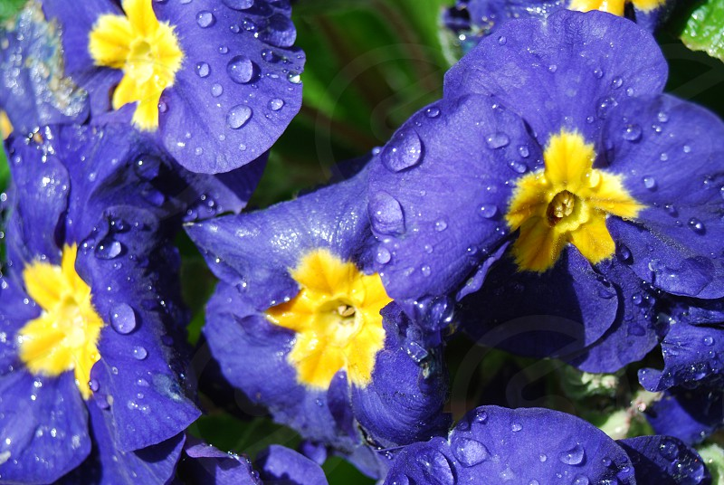 Purple Flower with Dew Drops photo