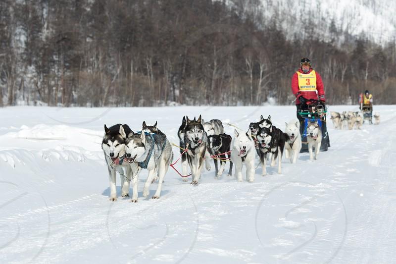 KAMCHATKA PENINSULA RUSSIA - MARCH 9 2013: Running dog sledge team Kamchatka musher Andrey Semashkin. Traditional Kamchatka extreme Dog Sled Racing Beringia. Russian Federation Far East Kamchatka. photo
