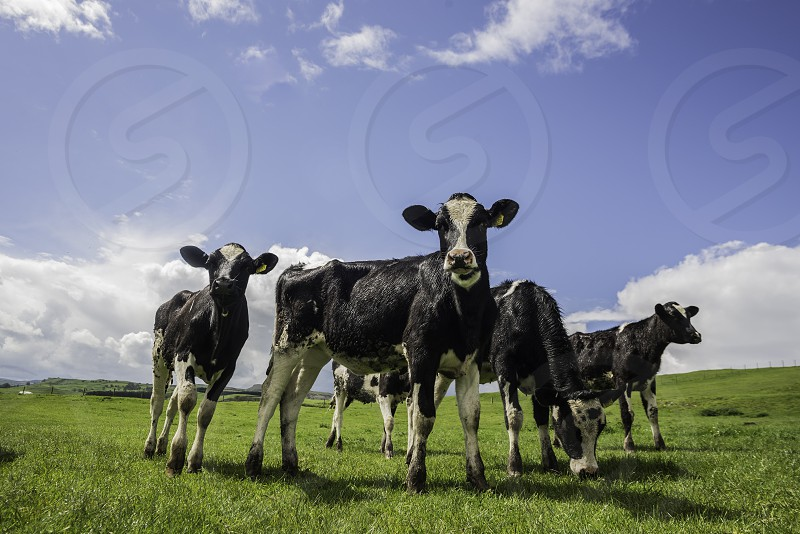"Cow Cows Cattle Calf ""domesticated ungulates"" ""Domestic animals"" Farming Farm Herd Bovinae ""Farm Animals"" photo"