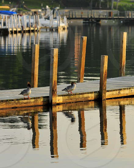 Early morning ducks on dock with reflections in the lake. photo