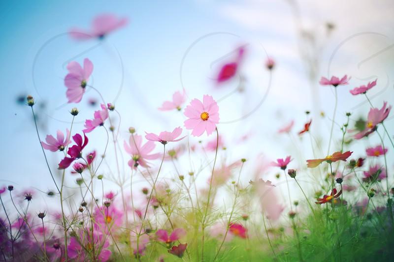 pink zinnias photo