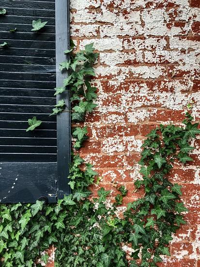 Old brick house black shutter ivy photo
