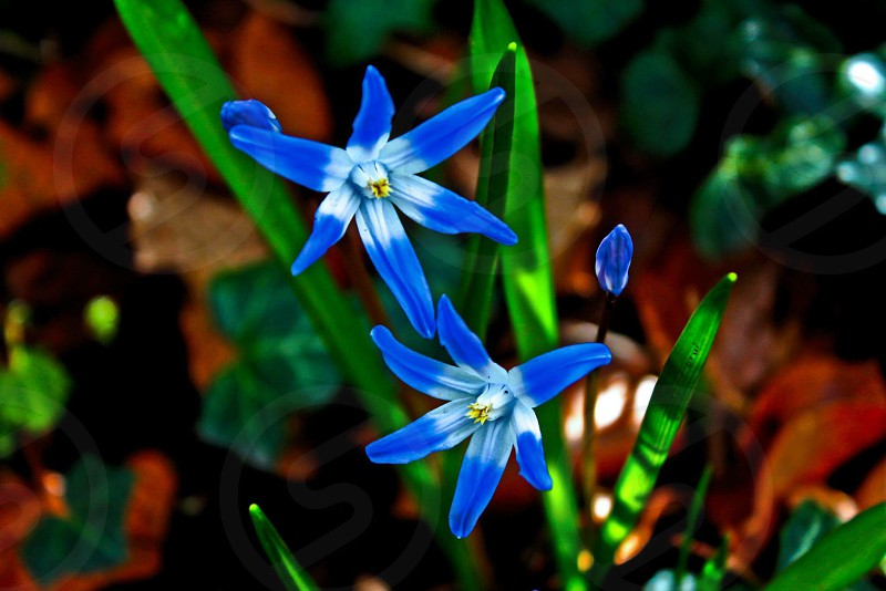 An edited photo of some bright blue flowers. photo