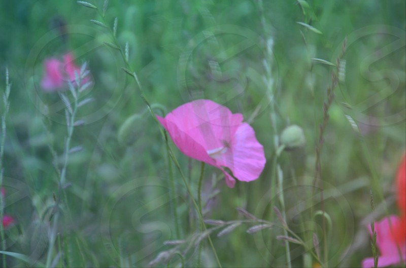 pink pansy flower photo