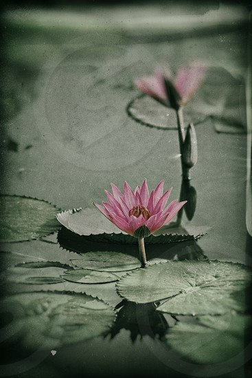 Lily flower lotus in a pound processed picture film like photo