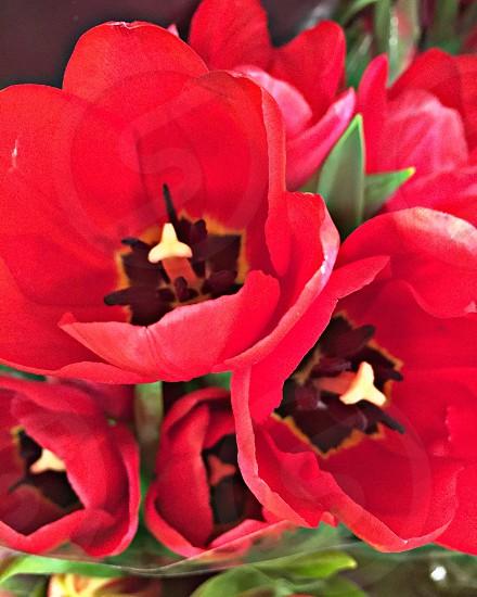 Macro tulips photo