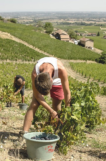 In a field of vineyards two boys are bending over to pick the grapes from the plants and place them in a bucket  photo