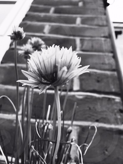 A black and white photo of a chive Flower against a brick wall photo