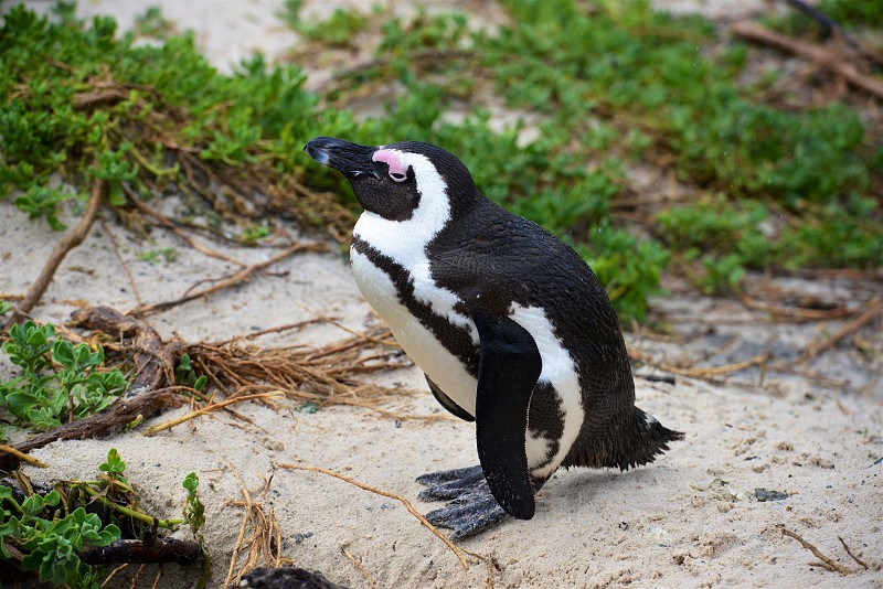 African Penguin - Simon's Town South Africa photo