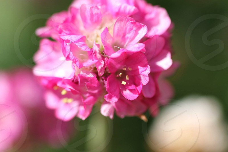 selective focus photography of pink cluster flower photo