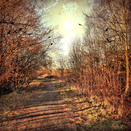 black birds flying by bare deciduous trees bordering dirt road photo
