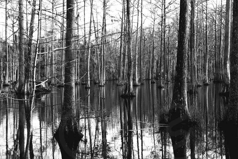 Cypress Trees South Carolina photo
