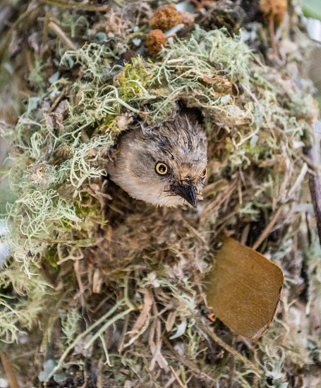 A bush tit gets ready to leave the nest and bring back food for her babies in California USA photo