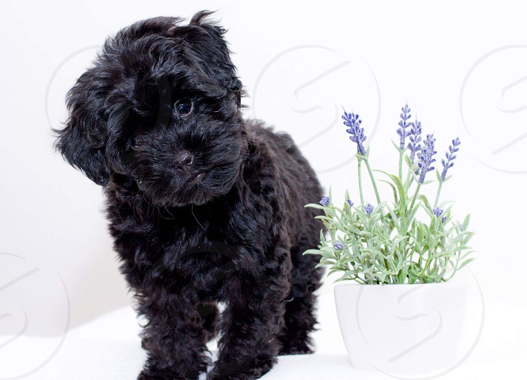 Lavender the black cockapoo puppy photo