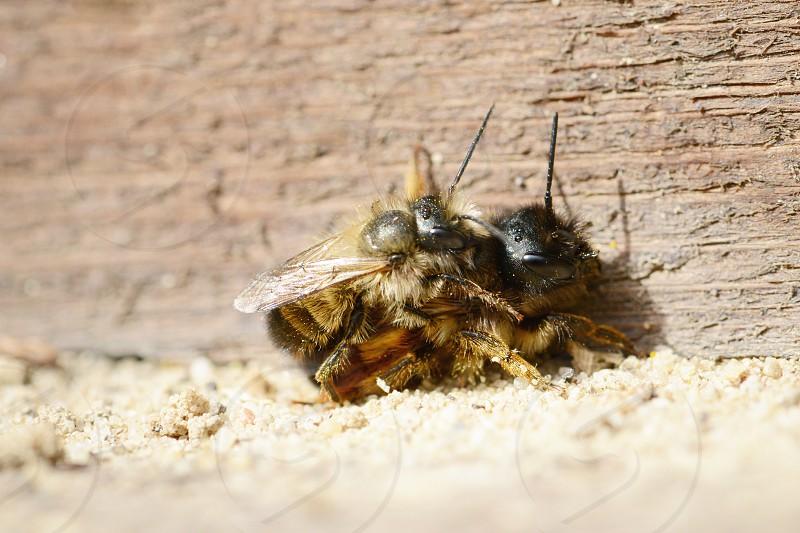 wild bee (Osmia bicornis) mating on insect sheltet. photo