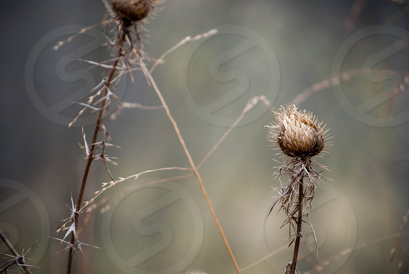 nature outdoors fall thistle plant photo