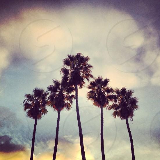 fan palm tree photography photo