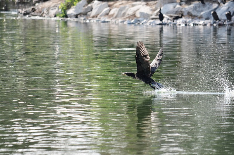 black bird flying over calm body of water during daytime photo