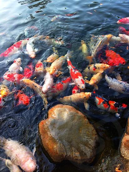 Koi fish pond photo