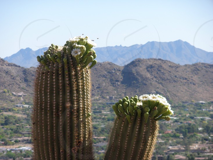 Cactus flowers and Bees photo