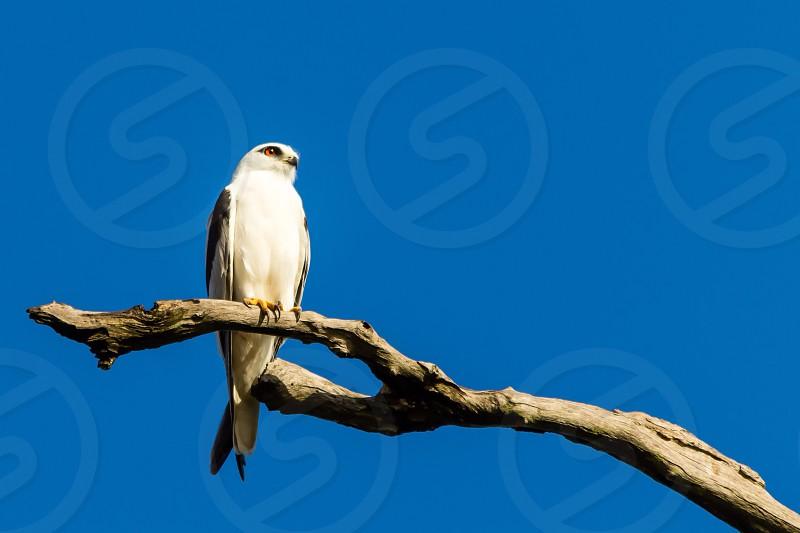 Bird branch kite rule of thirds  photo