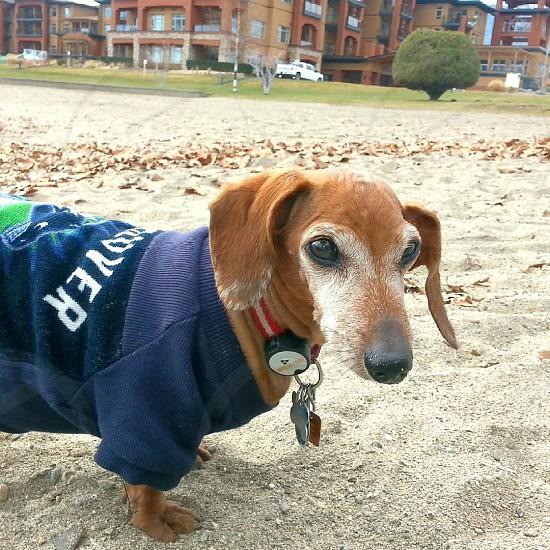dachshund dog beach pet doxie photo