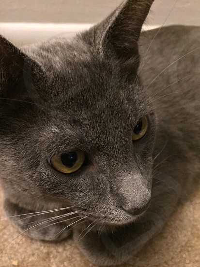 Cat cat eye grey cat photo