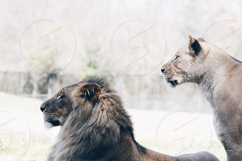 reclining maned lion and standing lioness on snowy field photo