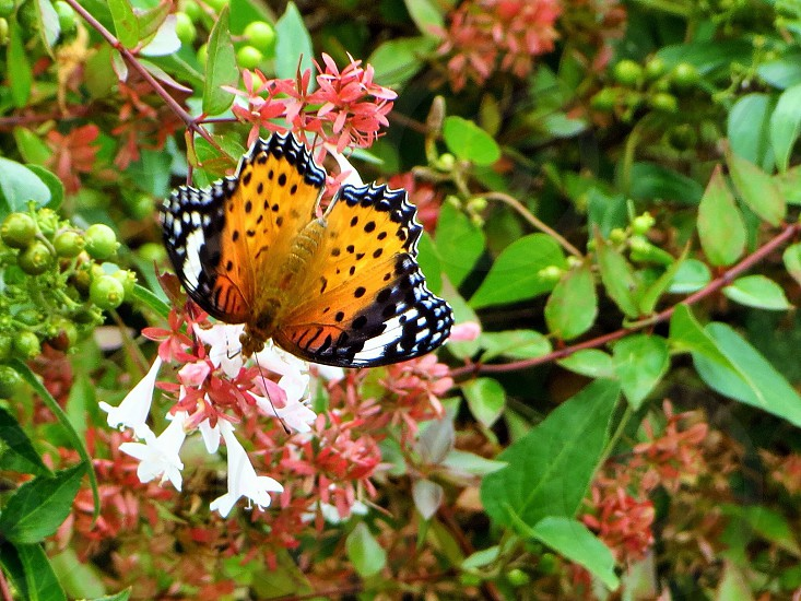 leopard lacewing butterfly on white flower photo