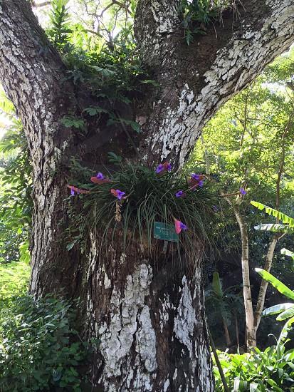 Waimea valley Hawaiian island Hawaii garden flowers Aeropod purple trees photo