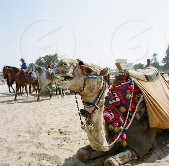 brown camel photo