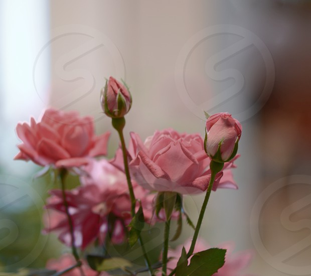 pink rose camera focus photography photo