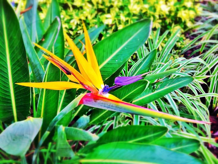 Bird-of-paradise (tropical flower) photo