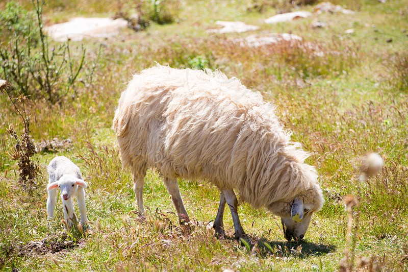 Mother sheep and baby lamb grazing in Menorca field photo