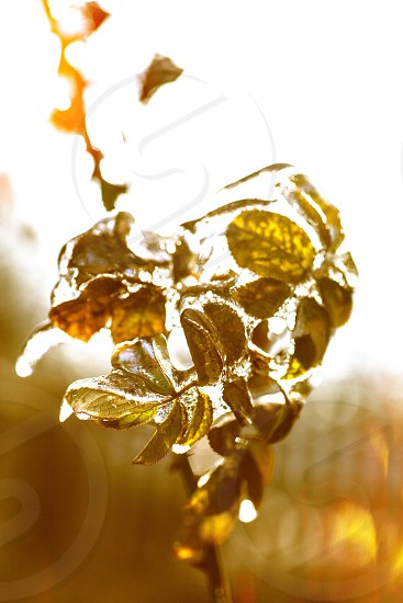 Ice frozen cold icicles water leaves plant nature snow winter  photo